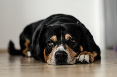 Signs That Your Dog is Going Through Serious Distress   by Ortho Pets   Jul, 2021   Medium