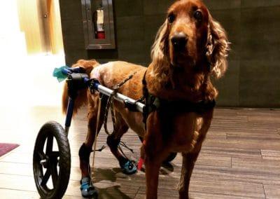 Dog Sling for Back Legs & Toe Support   OrthoPets